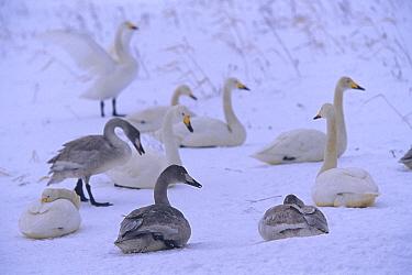 Whooper Swan (Cygnus cygnus) adults with first year cygnets in snow, Kussharo Island, Hokkaido, Japan  -  Juan Carlos Munoz/ npl