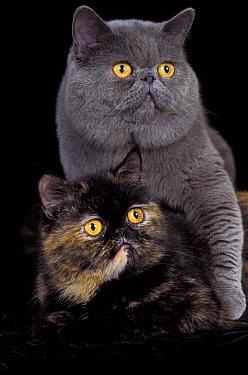 Domestic Cat (Felis catus)Exotic grey cat and tortoiseshell cat mating  -  Adriano Bacchella/ npl