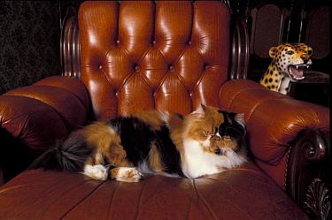 Domestic Cat (Felis catus)Black, white and cream mackerel tabby persian cat resting in armchair  -  Adriano Bacchella/ npl