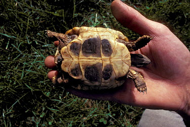 Hermann's Tortoise (Testudo hermanni) Italy  -  Adriano Bacchella/ npl