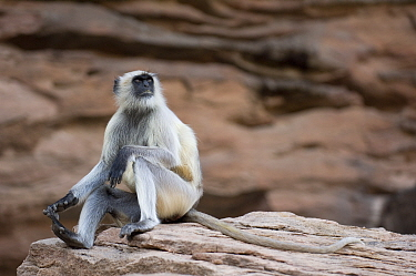 Hanuman langur (Semnopithecus, Presbytis entellus) sitting on rock looking up, Rajasthan, India  -  Bernard Castelein/ npl