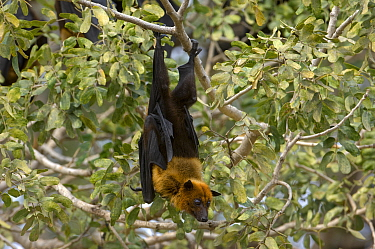 Indian Flying Fox (Pteropus giganteus) roosting in tree, Rajasthan, India  -  Bernard Castelein/ npl