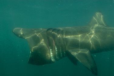 Basking Shark (Cetorhinus maximus) feeding with mouth wide open, off Cornwall, United Kingdom  -  Michael Pitts/ npl