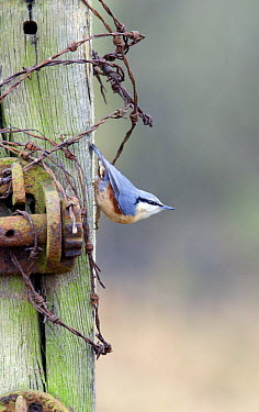 Wood Nuthatch (Sitta europaea) on post with wire, Buckinghamshire, England  -  David Kjaer/ npl