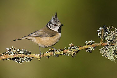 Crested Tit (Parus cristatus) perched on lichen covered twig, Cairngorms, Scotland United Kingdom  -  Andy Sands/ npl