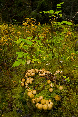 Stamp puffball (Lycoperdon pyriforme) growing in taiga woodland, Laponia, Lappland, Finland  -  Juan Carlos Munoz/ npl