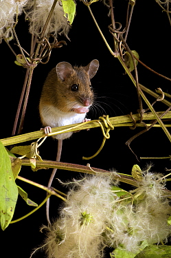 Wood Mouse (Apodemus sylvaticus) among seeds of wild Clematis, Captive, United Kingdom  -  Andy Sands/ npl