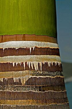 Royal Palm (Roystonea regia), Caribbean  -  Michel Petit/ npl