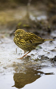 South Georgia Pipit (Anthus antarcticus), Prion Island, South Georgia, Antarctica  -  Roy Mangersnes/ npl