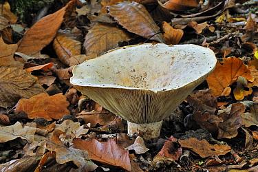 Mushroom (Lactarius sp) among autumn leaves, Belgium  -  Philippe Clement/ npl
