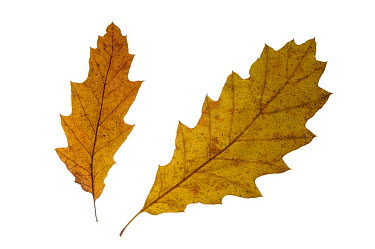 Turkey oak (Quercus cerris) leaves in autumn colours, native to southern Europe  -  Philippe Clement/ npl