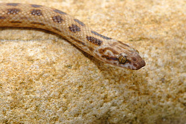 Spotted rock snake (Lamprophis guttata) Little Karoo, South Africa  -  Tony Phelps/ npl