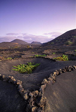 Vineyard, La Geria region, Lanzarote, Canary Islands This unique method of cultivation is known as �enarenado natur�l� The Lanzarote farmers have dug thousands of small hollows into the 1? metre thick...  -  Gary John Norman/ npl