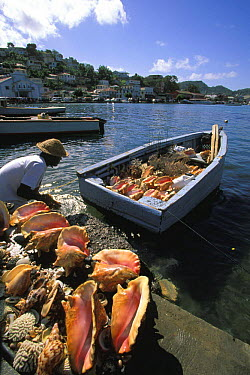 Horned helmet (Cassis cornuta) and other seashells, corals and sponges, being cleaned by a man on the quayside ready for sale, St Georges, Grenada, Caribbean  -  Onne Van Der Wal/ npl