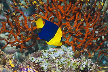 Blue And Gold Angelfish (Centropyge bicolor) feeding on coral reef Raja Ampat, West Papua, Indonesia  -  Georgette Douwma/ npl