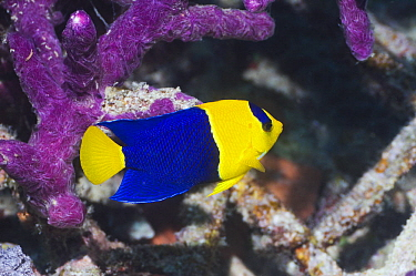 Blue And Gold Angelfish (Centropyge bicolor) on coral reef, Raja Ampat, West Papua, Indonesia  -  Georgette Douwma/ npl