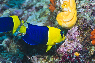Blue And Gold Angelfish (Centropyge bicolor) feeding on coral reef, Raja Ampat, West Papua, Indonesia  -  Georgette Douwma/ npl