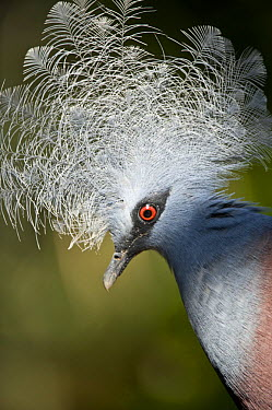 Southern crowned pigeon (Goura scheepmakeri) from dry and flooded rainforest areas in southern New Guinea, captive, Jurong Bird Park, Singapore  -  Nick Garbutt/ npl