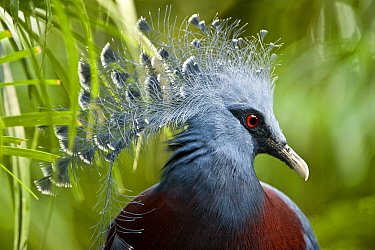 Victoria Crowned Pigeon (Goura victoria) from swamp and sago palm forest areas in northern New Guinea Captive, Jurong Bird Park, Singapore  -  Nick Garbutt/ npl