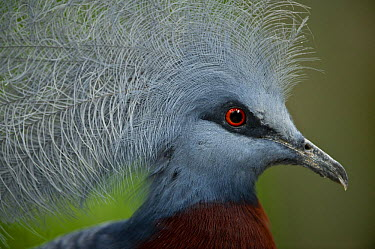 Southern crowned pigeon (Goura scheepmakeri) from dry and flooded rainforest areas in southern New Guinea Captive, Jurong Bird Park, Singapore  -  Nick Garbutt/ npl