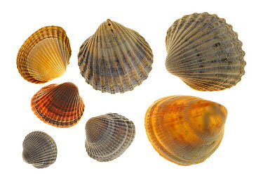 Common Cockle (Cerastoderma edule), Smooth Cockle (Laevicardium crassum) and Poorly-ribbed Cockle (Acanthocardia paucicostata), Normandy, France  -  Philippe Clement/ npl