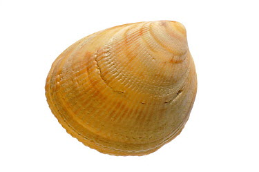 Smooth, Norway cockle (Laevicardium crassum) shell, Normandy, France  -  Philippe Clement/ npl