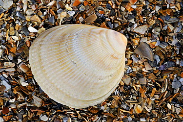 Smooth, Norway cockle (Laevicardium crassum) shell on beach, Normandy, France  -  Philippe Clement/ npl