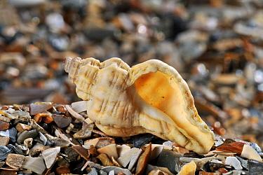 Oyster drill, Sting winkle, Hedgehog Murex (Ocenebra erinacea) shell on beach, Mediterranean, France  -  Philippe Clement/ npl