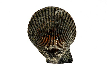Variegated scallop (Chlamys varia, Mimachlamys varia) shell, Normandy, France  -  Philippe Clement/ npl