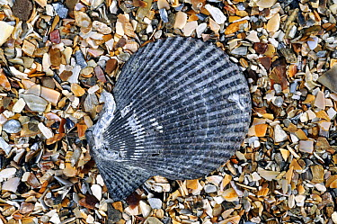 Variegated scallop (Chlamys varia, Mimachlamys varia) shell on beach, Normandy, France  -  Philippe Clement/ npl