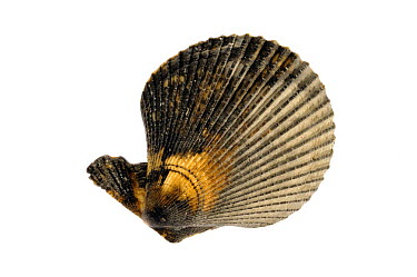 Variegated scallop (Chlamys varia, Mimachlamys varia) shells, Mediterranean, France  -  Philippe Clement/ npl