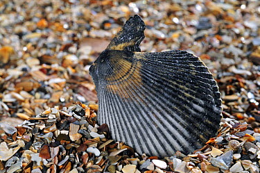 Variegated scallop (Chlamys varia, Mimachlamys varia) shell on beach, Mediterranean, France  -  Philippe Clement/ npl