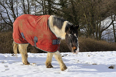 Horse (Equus caballus) wearing winter coat in snow covered field, Wiltshire, UK, winter 2008, 9  -  Nick Upton/ npl