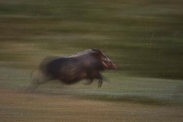 Bush pig, Red Riverine hog (Potamocherus larvatus) running, Kaffa zone, Southern Ethiopia, East Africa December 2008  -  Bruno D'amicis/ npl