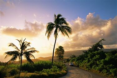 Car driving along a palm tree lined road near Bathsheba, Barbados 1995  -  Gary John Norman/ npl