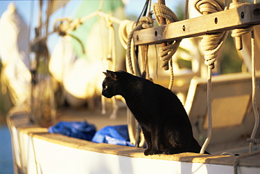 Domestic Cat (Felis catus) keeping watch from the rail of a classic yacht  -  Gary John Norman/ npl