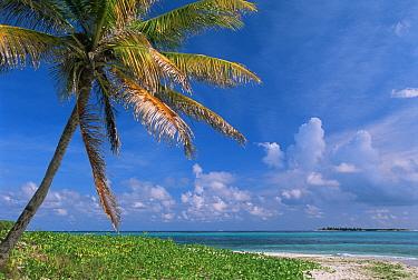 Palm tree and sandy beach, Tobago Cays, Caribbean, 1998  -  Gary John Norman/ npl