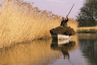 Reed cutter transporting bundles of freshly cut reeds along the river to be delivered to the thatcher Norfolk Broads, UK, 1993  -  Gary John Norman/ npl