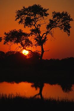 Sunrise over tree and wetland in the Okavango Delta, Botswana 1997  -  Gary John Norman/ npl