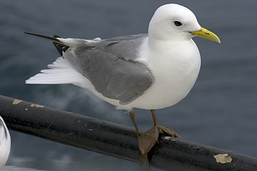 Red-legged Kittiwake (Rissa brevirostris) perched on handrail of a fishing vessel  -  Philip Stephen/ npl