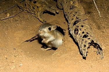 Bannertail Kangaroo Rat (Dipodomys spectabilis) outside its den captive, Southern Arizona  -  Mary Mcdonald/ npl