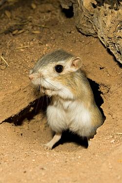 Bannertail Kangaroo Rat (Dipodomys spectabilis) outside its den, captive, Southern Arizona  -  Mary Mcdonald/ npl