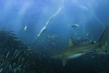 Bronze Whaler Shark (Carcharhinus brachyurus) and Cape Gannet (Morus capensis) flock feeding on Pacific Sardine (Sardinops sagax) baitball, South Africa  -  Doug Perrine/ npl