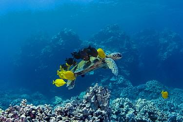 Green Sea Turtle (Chelonia mydas) being cleaned by Yellow Tang (Zebrasoma flavescens) and Yellow-eyed Surgeonfish (Ctenochaetus strigosus), Kona Coast, Hawaii  -  Doug Perrine/ npl
