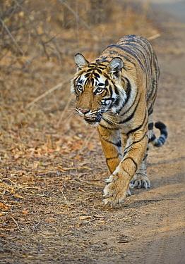 Bengal Tiger (Panthera tigris tigris) walking along track, Ranthambore National Park, Rajasthan, India  -  Andy Rouse/ npl