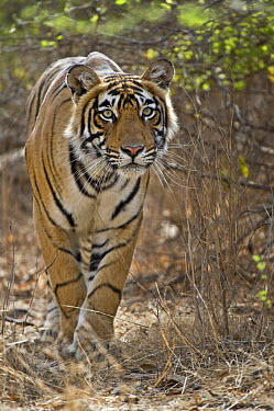 Bengal Tiger (Panthera tigris tigris) stalking deer, Ranthambore National Park, Rajasthan, India  -  Andy Rouse/ npl