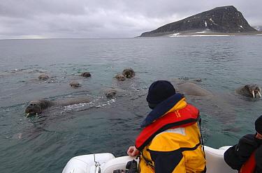 Walrus (Odobenus rosmarus) group in water with tourist watching, Spitsbergen, Norway  -  Rick Tomlinson/ npl