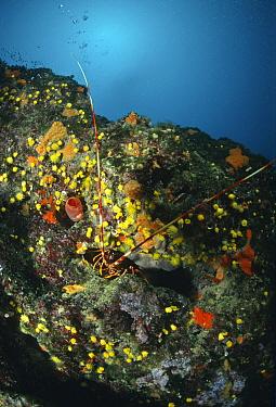European spiny lobster (Palinurus elephus) on rocks, Marina di Camerota, Campania, Italy  -  Angelo Giampiccolo/ npl