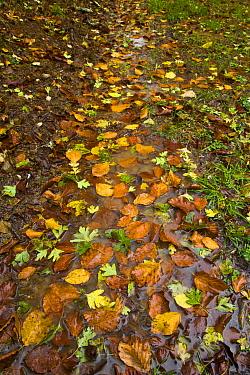 Fallen leaves along a wet path in woodland in autumn, Riano, Picos de Europa NP, Leon, Northern Spain  -  Juan Carlos Munoz/ npl