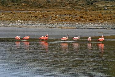 Chilean Flamingo (Phoenicopterus chilensis) standing in lake, preening, Torres del Paine National Park, Chile  -  Freya Pratt/ npl